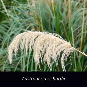 Astroderia_richardii_Grasses_NZ_natives_South_Island_Toe_Toe