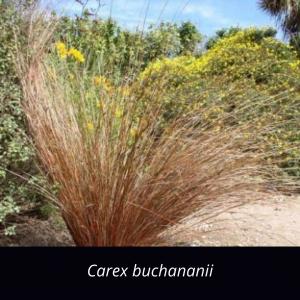 Carex_buchananii_grasses_NZ_native_ Buchanans_sedge_cutty_grass