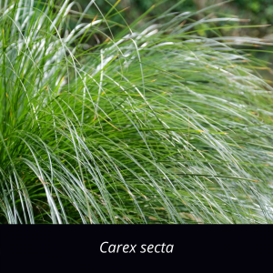 Carex_secta_grasses_NZ_native_Makura_sedge