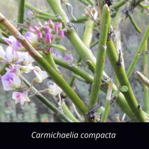 Carmichaelia_compacta_Cromwell_broom_Shrub_NZ-Native