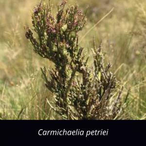 Carmichaelia_petriei_NZ_native_desert_broom