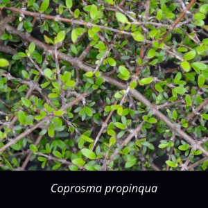 Coprosma_propinqua_NZ_native_Mingimingi