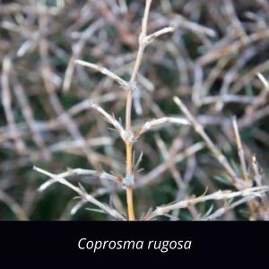 Coprosma_rugosa_NZ_native_Needle_leaved_Mountain_Coprosma