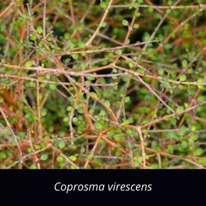 Coprosma_virescens_NZ_natives_mikimiki