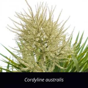Cordyline_australis_NZ_native_cabbage_tree