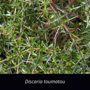 Discaria_toumatou_NZ_Native_matagouri