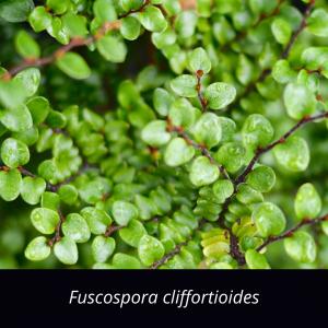 Fuscospora_cliffortioides_NZ_native_mountain_beech