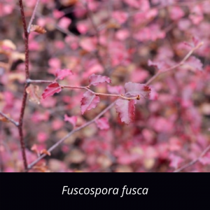 Fuscospora_fusca_NZ_Native_red_beech
