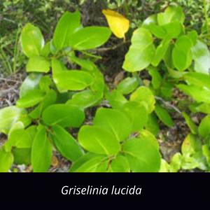 Griselinia_lucida_NZ_Native