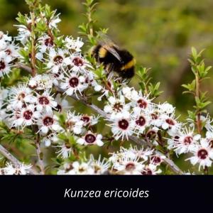 Kunzea_serotina_NZ_native_kanuka