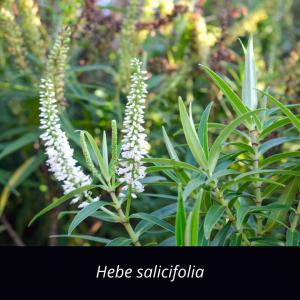 Veronica_salicifolia_NZ_native_hebe