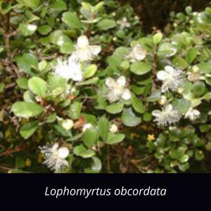 Lophomyrtus_obcordata_NZ_native