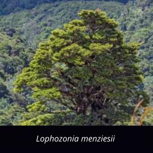 Lophozonia_menziesii_NZ_native_silver_beech