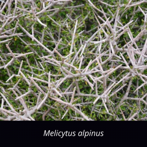 Melicytus_alpinus_NZ_native_porcupine_shrub