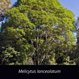 Melicytus_lanceolatum_NZ_native