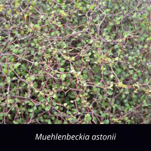 Muehlenbeckia_astonii_NZ_native_wiggywig