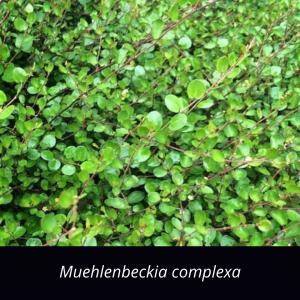 Muehlenbeckia_complexa_NZ_native