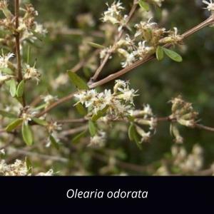 Olearia_odorata_NZ_native_Scented_Tree_Daisy