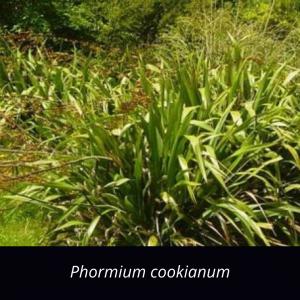 Phormium_cookianum_NZ_native_mountain_flax