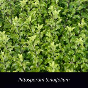 Pittosporum_tenuifolium_NZ_native_black_matipo