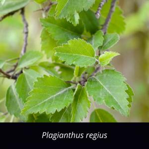 Plagianthus_regius_NZ_native_ribbonwood
