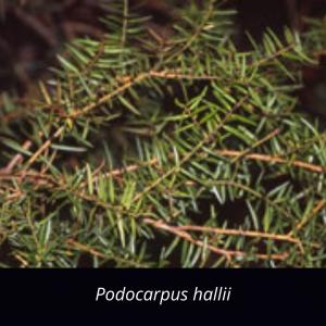 Podocarpus_hallii_NZ_native_halls totara