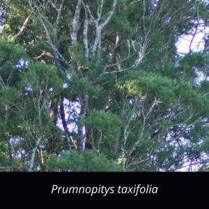 Prumnopitys_taxifolia_NZ_native_black_pine