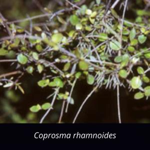 Coprosma_rhamnoides_shrub_native