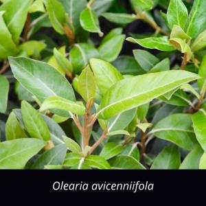 Olearia_avicenniifola_nz_native_tree_Mountain_Ake_Ake